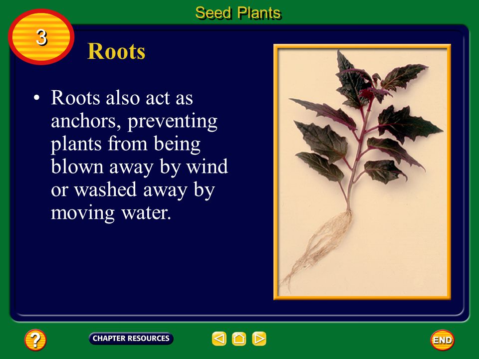 Seed Plants 3. Roots.