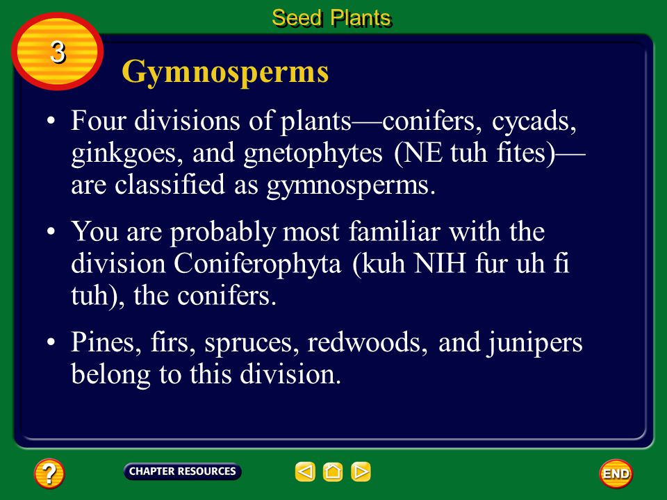 Seed Plants 3. Gymnosperms. Four divisions of plants—conifers, cycads, ginkgoes, and gnetophytes (NE tuh fites)—are classified as gymnosperms.