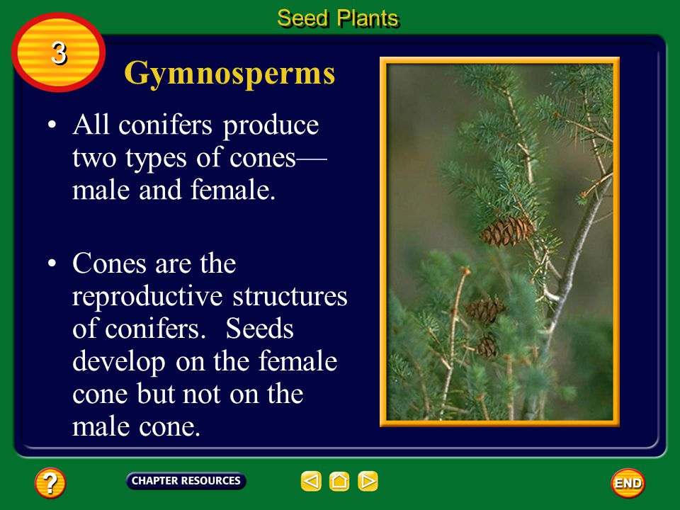 Gymnosperms 3 All conifers produce two types of cones—male and female.