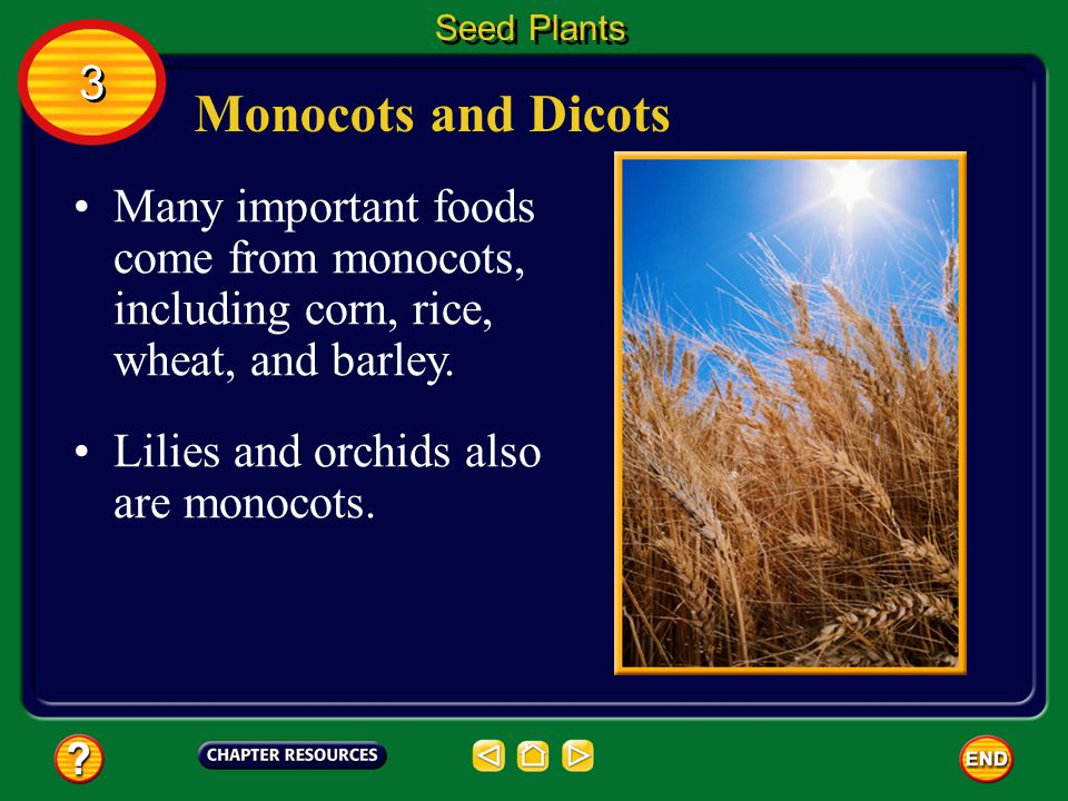 Seed Plants 3. Monocots and Dicots. Many important foods come from monocots, including corn, rice, wheat, and barley.