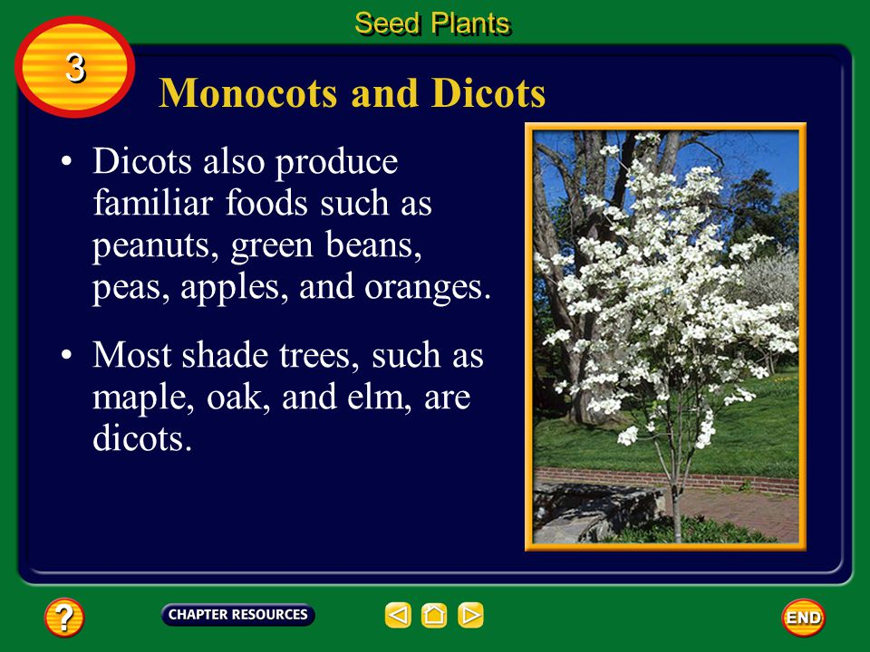 Seed Plants 3. Monocots and Dicots. Dicots also produce familiar foods such as peanuts, green beans, peas, apples, and oranges.
