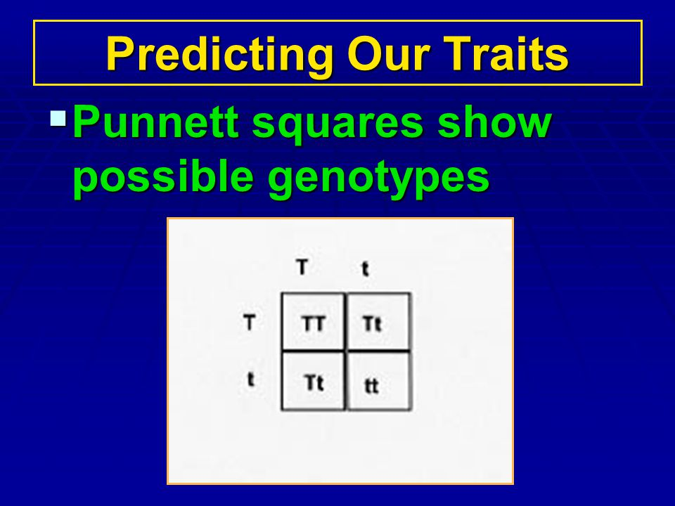 Predicting Our Traits Punnett squares show possible genotypes