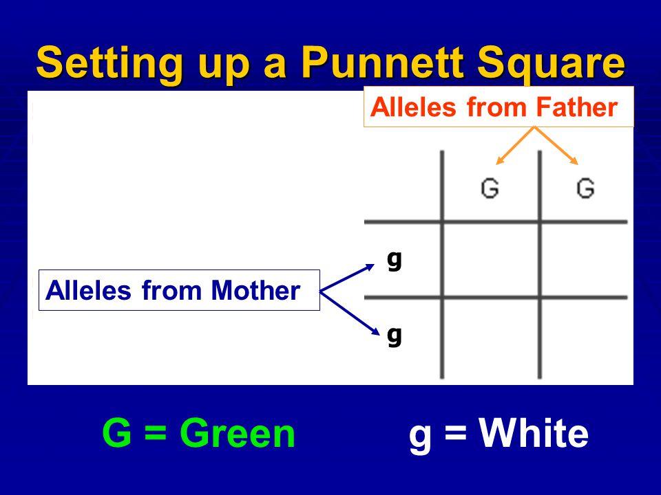 Setting up a Punnett Square
