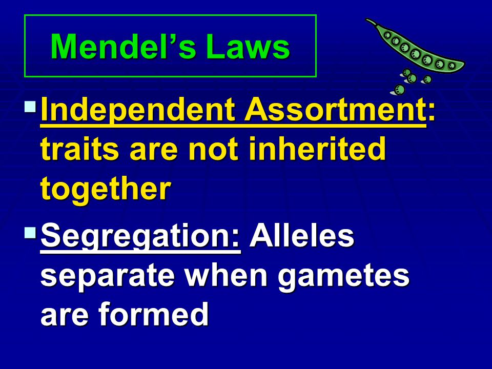 Mendel's Laws Independent Assortment: traits are not inherited together.