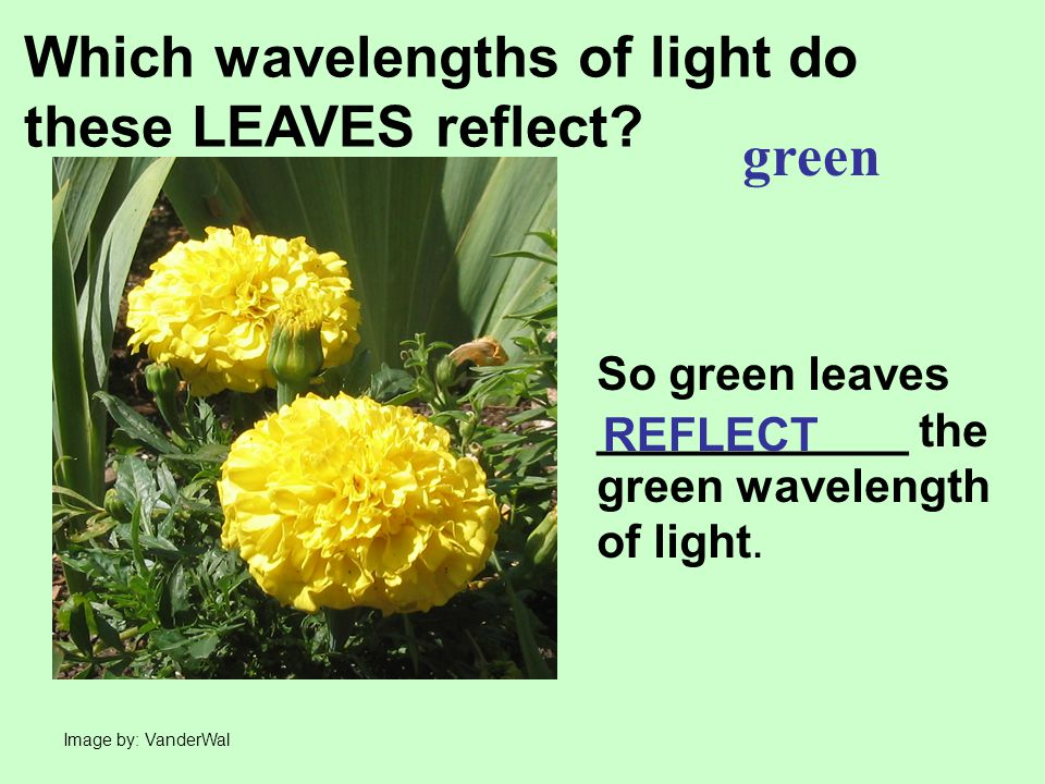 Which wavelengths of light do these LEAVES reflect green