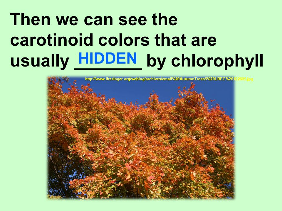 carotinoid colors that are usually _______ by chlorophyll