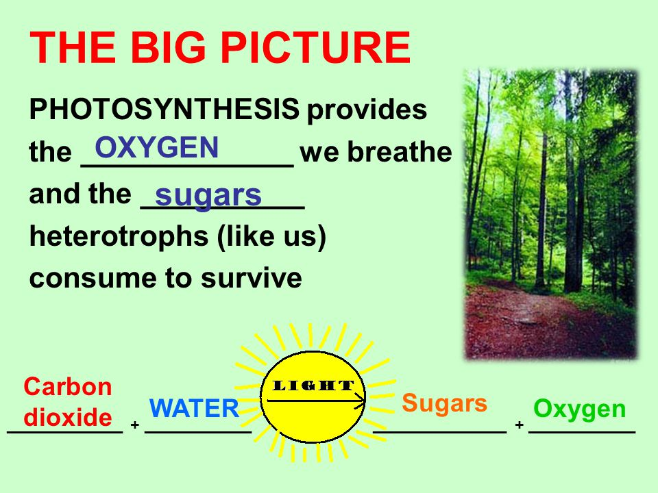 THE BIG PICTURE sugars PHOTOSYNTHESIS provides