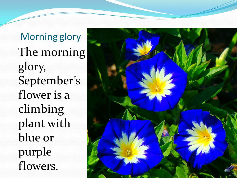 Morning glory The morning glory, September's flower is a climbing plant with blue or purple flowers.