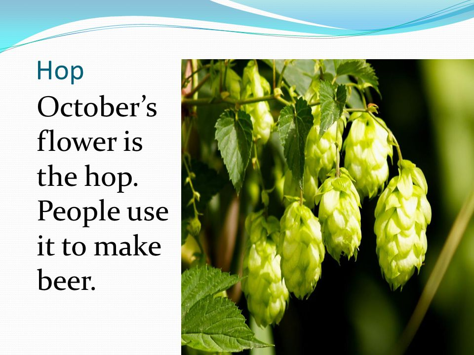 Hop October's flower is the hop. People use it to make beer.