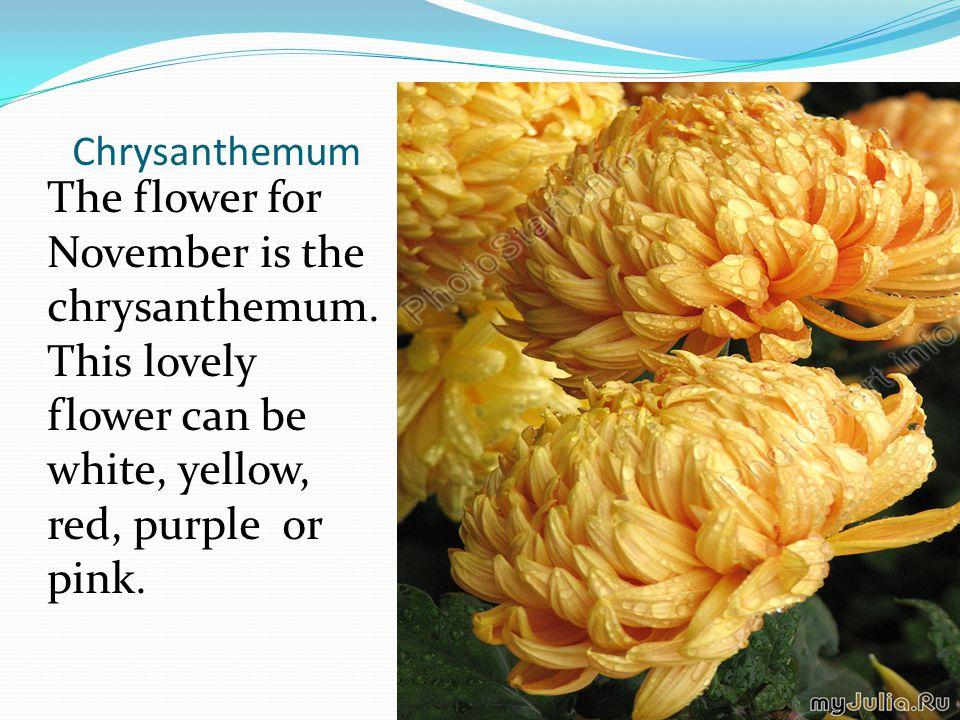 Chrysanthemum The flower for November is the chrysanthemum.