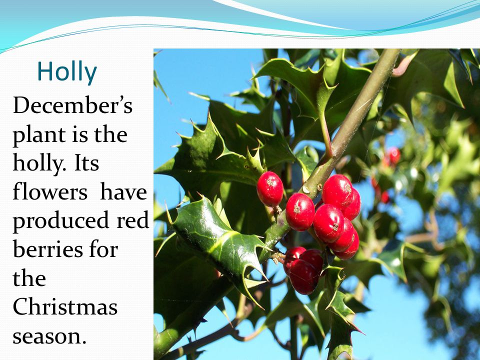 Holly December's plant is the holly.