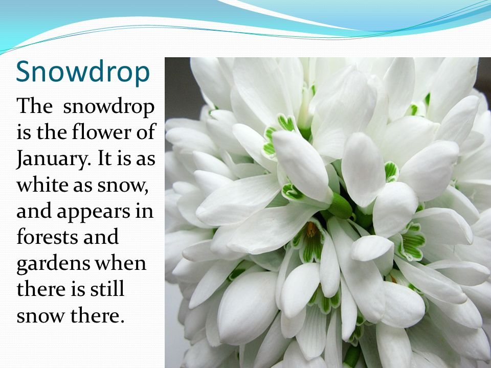 Snowdrop The snowdrop is the flower of January.