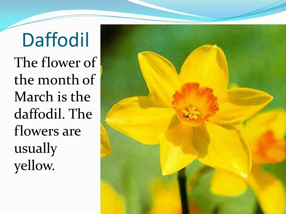 Daffodil The flower of the month of March is the daffodil. The flowers are usually yellow.