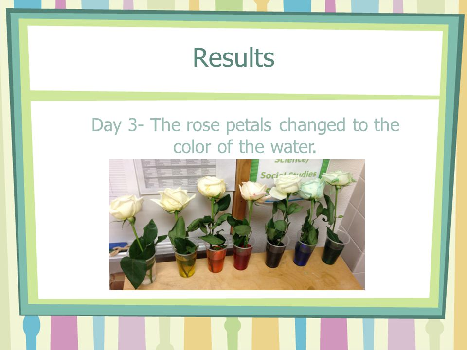 Day 3- The rose petals changed to the color of the water.