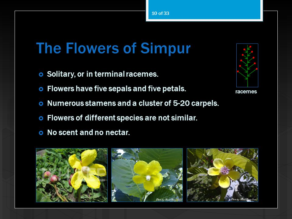 The Flowers of Simpur Solitary, or in terminal racemes.