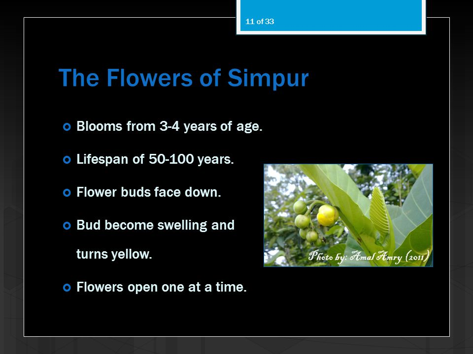The Flowers of Simpur Blooms from 3-4 years of age.