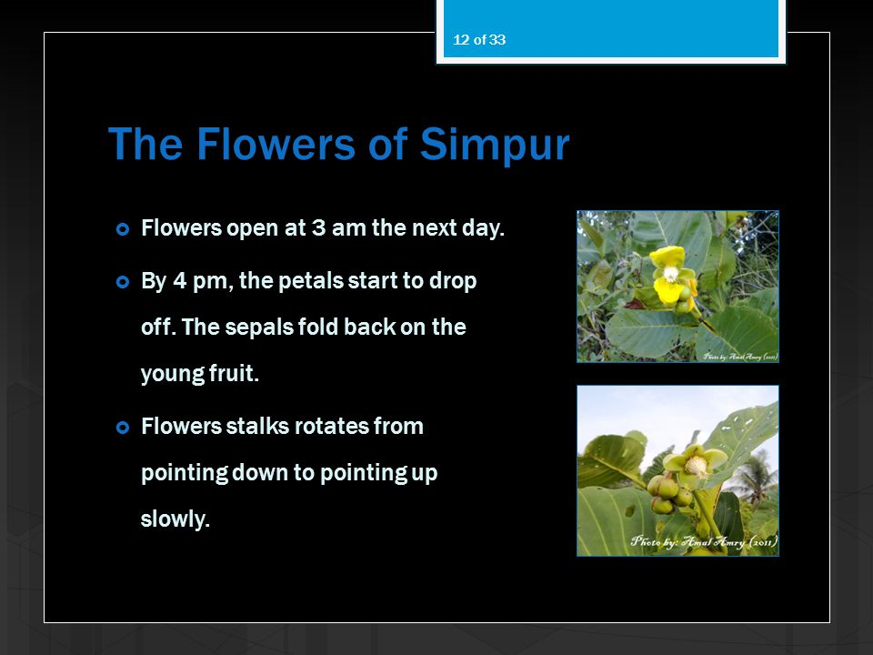 The Flowers of Simpur Flowers open at 3 am the next day.