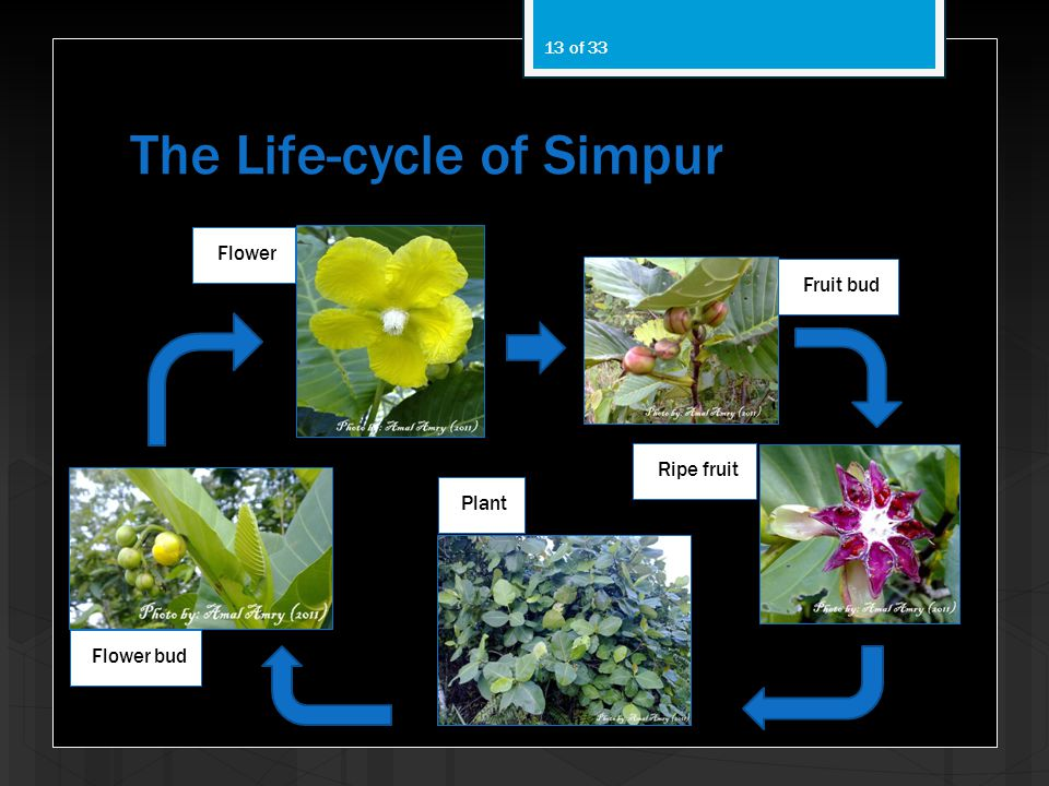 The Life-cycle of Simpur