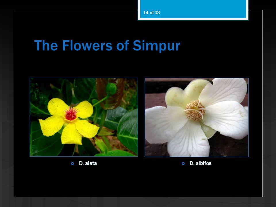 The Flowers of Simpur D. alata D. albifos