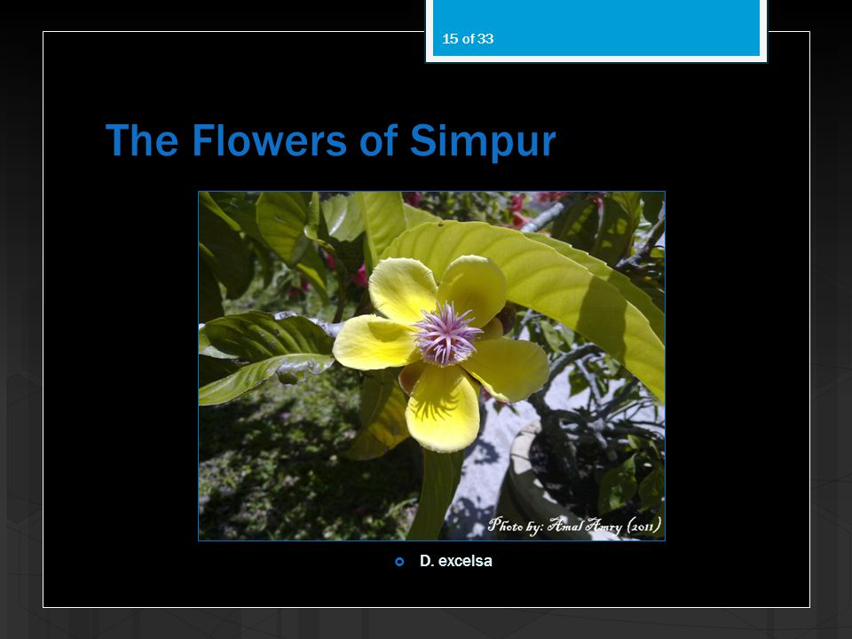 The Flowers of Simpur D. excelsa