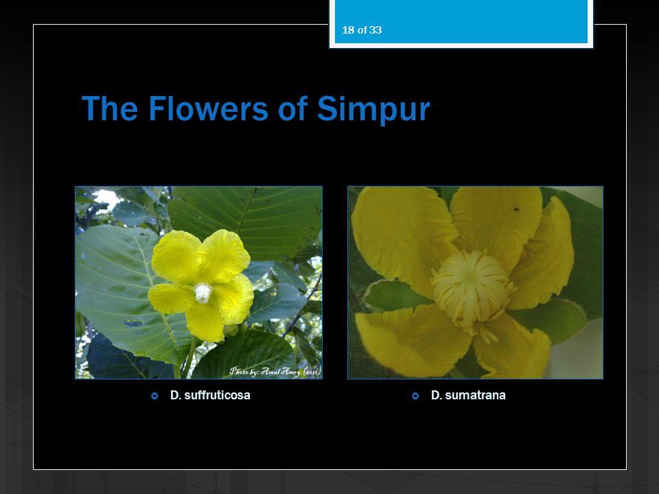 The Flowers of Simpur D. suffruticosa D. sumatrana