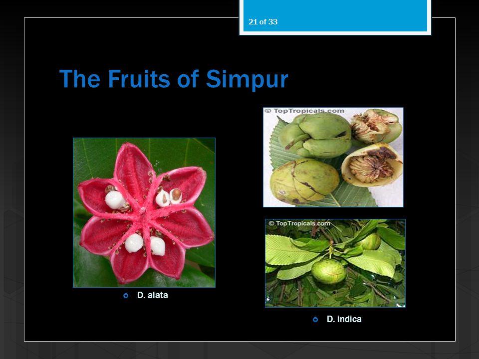 The Fruits of Simpur D. alata D. indica