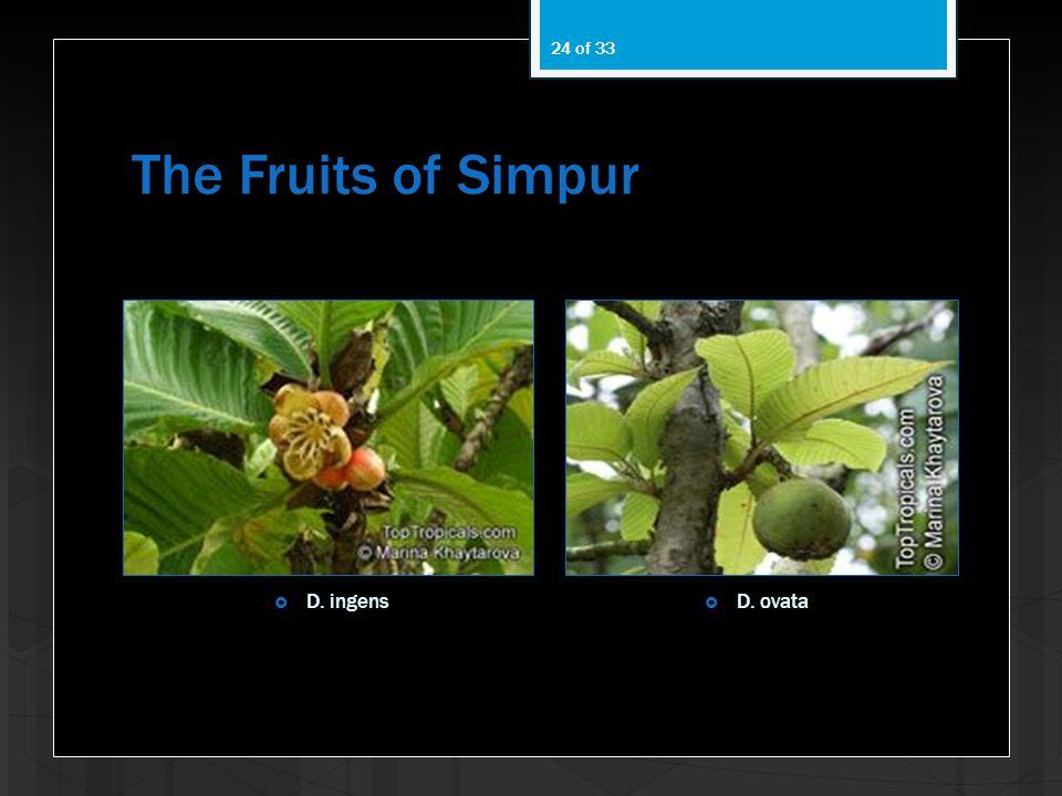 The Fruits of Simpur D. ingens D. ovata