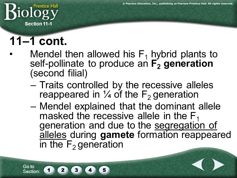 Section –1 cont. Mendel then allowed his F1 hybrid plants to self-pollinate to produce an F2 generation (second filial)