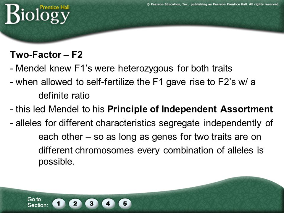 Two-Factor – F2 - Mendel knew F1's were heterozygous for both traits. - when allowed to self-fertilize the F1 gave rise to F2's w/ a.