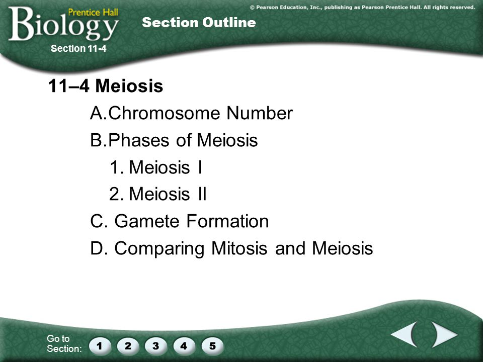 D. Comparing Mitosis and Meiosis