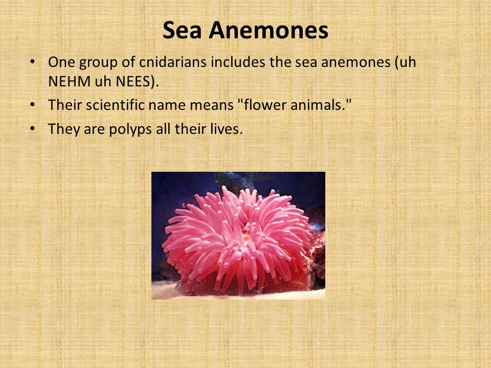 Sea Anemones One group of cnidarians includes the sea anemones (uh NEHM uh NEES). Their scientific name means flower animals.