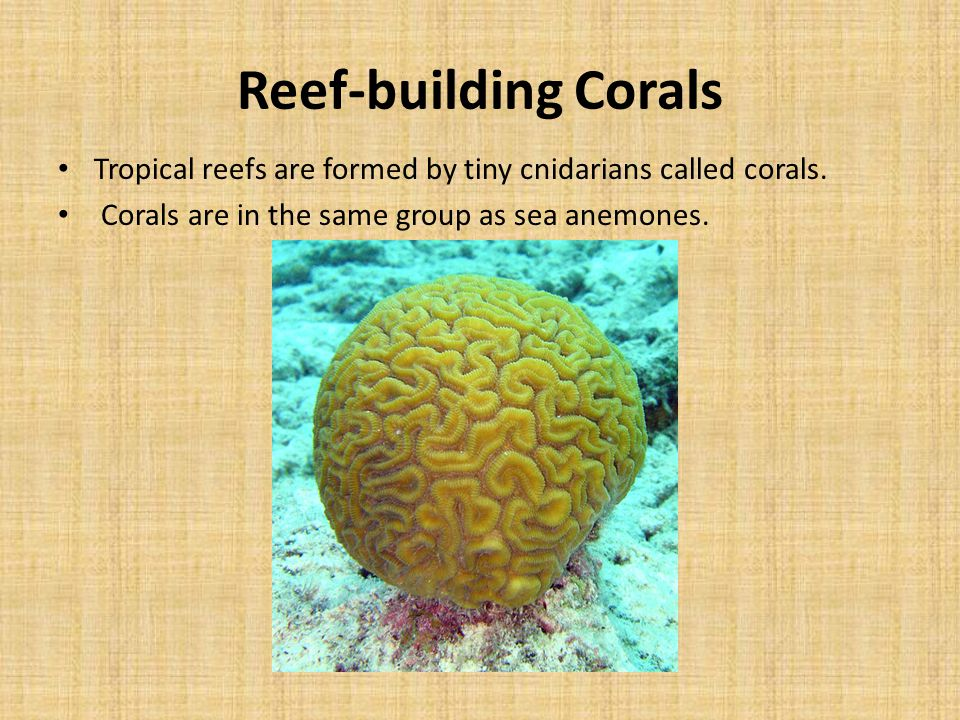 Reef-building Corals Tropical reefs are formed by tiny cnidarians called corals.