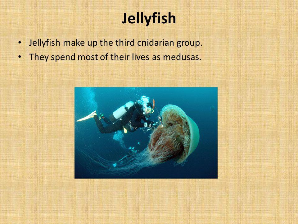 Jellyfish Jellyfish make up the third cnidarian group.