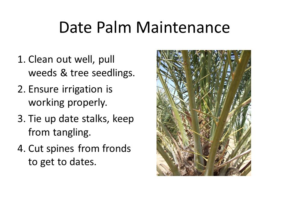 Date Palm Maintenance Clean out well, pull weeds & tree seedlings.