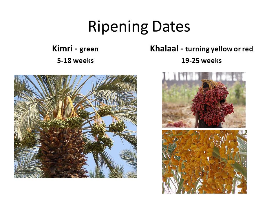 Khalaal - turning yellow or red