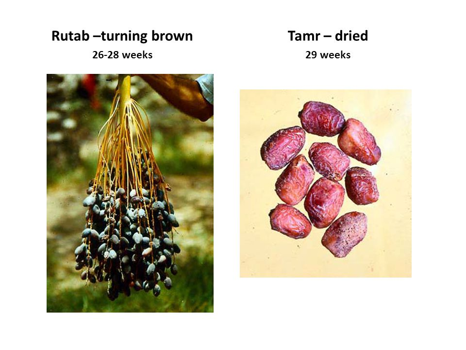 Rutab –turning brown Tamr – dried
