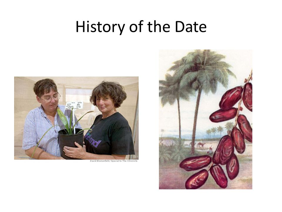 History of the Date Date palms have been cultivated for over 6000 years.