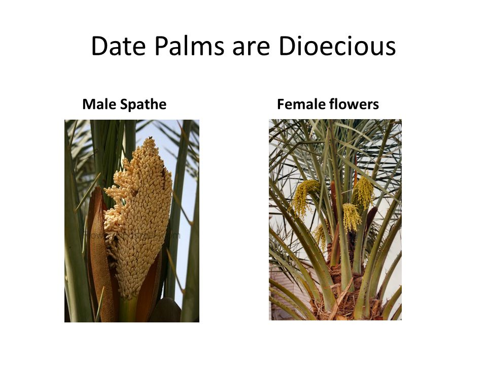 Date Palms are Dioecious