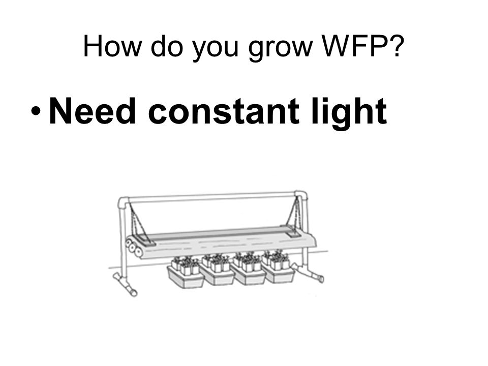 How do you grow WFP Need constant light