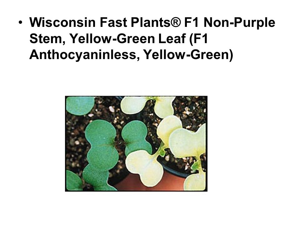 Wisconsin Fast Plants® F1 Non-Purple Stem, Yellow-Green Leaf (F1 Anthocyaninless, Yellow-Green)