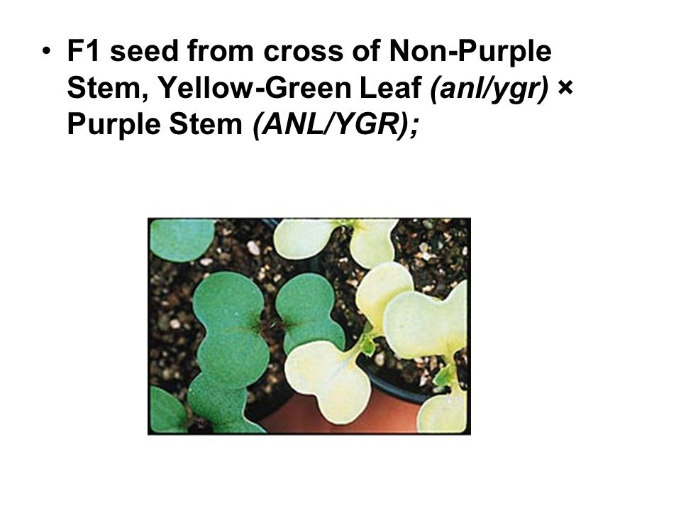 F1 seed from cross of Non-Purple Stem, Yellow-Green Leaf (anl/ygr) × Purple Stem (ANL/YGR);