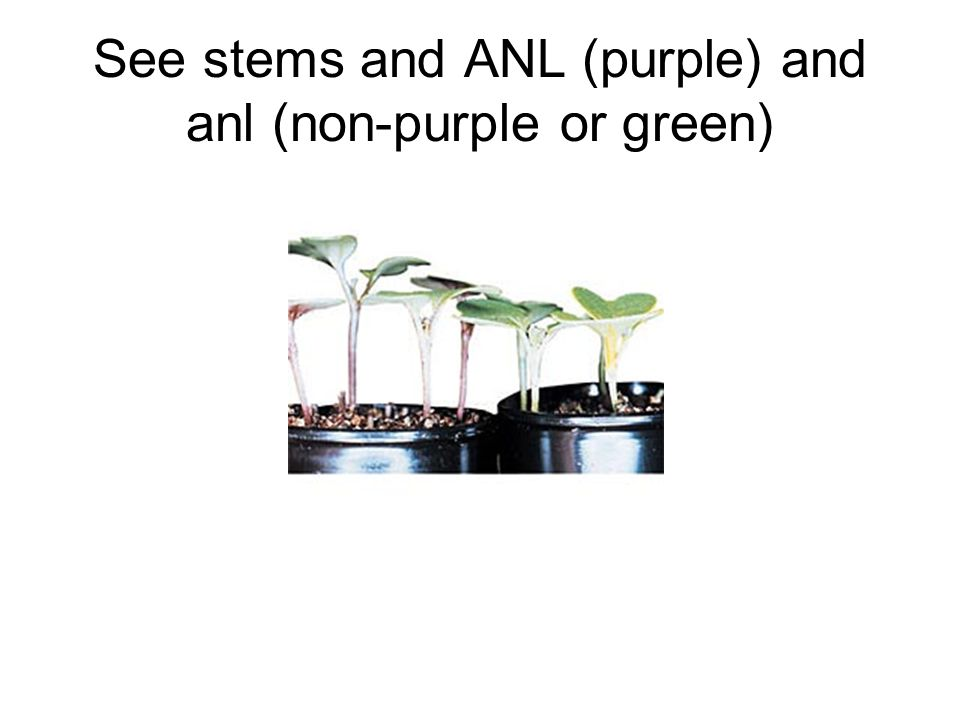 See stems and ANL (purple) and anl (non-purple or green)