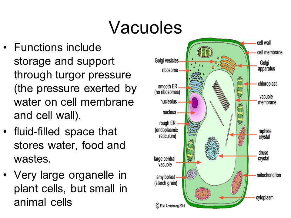 Cell Walls: What Do They Actually Do?