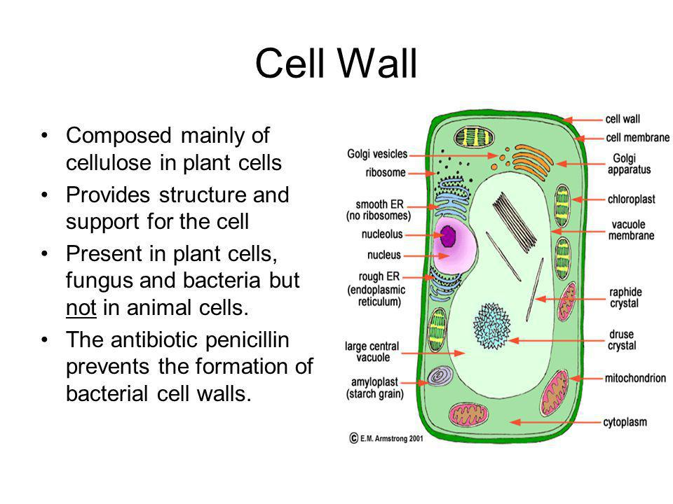 Cell Wall Composed mainly of cellulose in plant cells