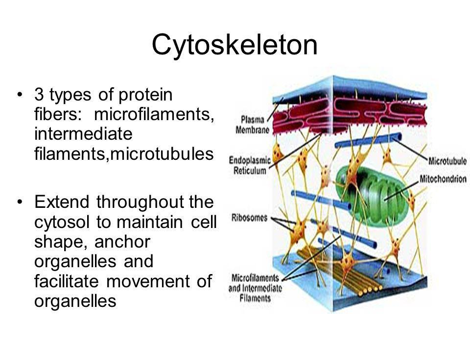 Cytoskeleton 3 types of protein fibers: microfilaments, intermediate filaments,microtubules.