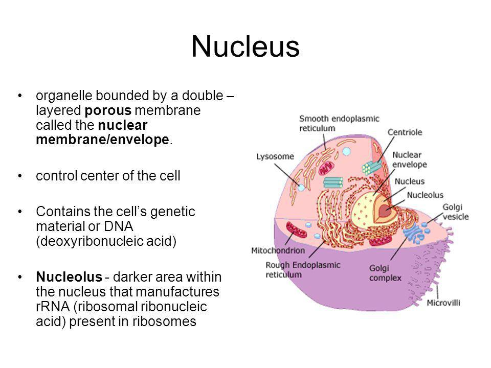 Nucleus organelle bounded by a double –layered porous membrane called the nuclear membrane/envelope.