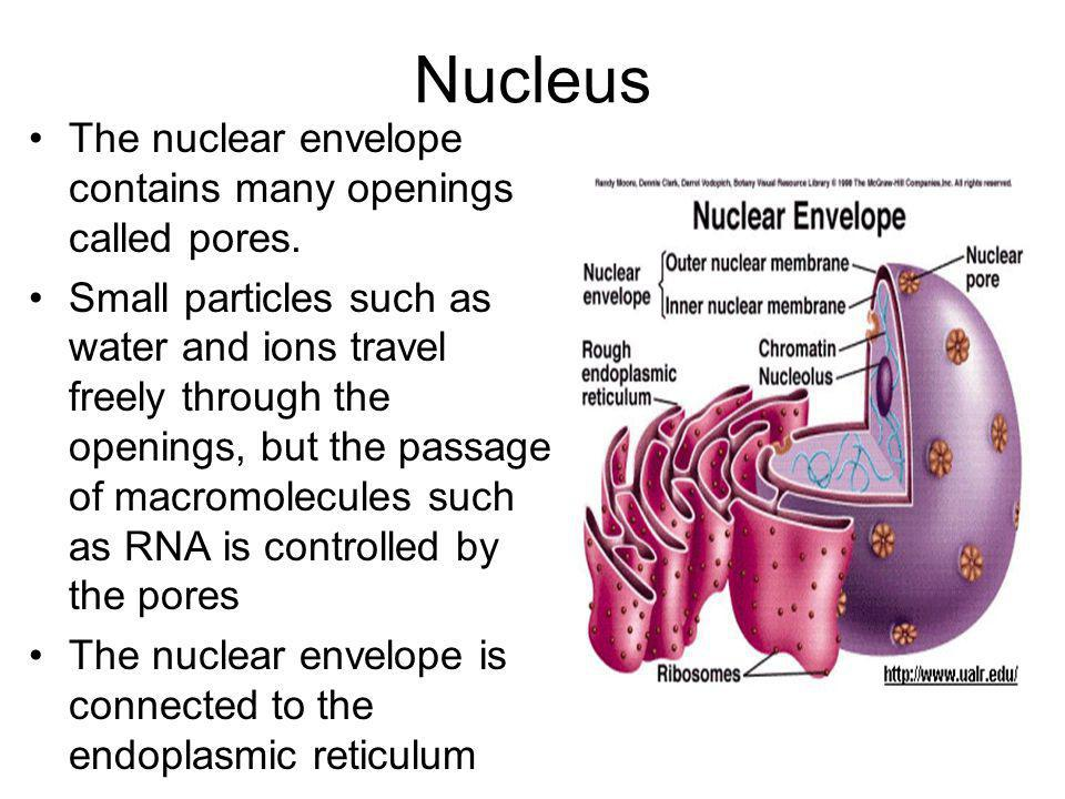 Nucleus The nuclear envelope contains many openings called pores.