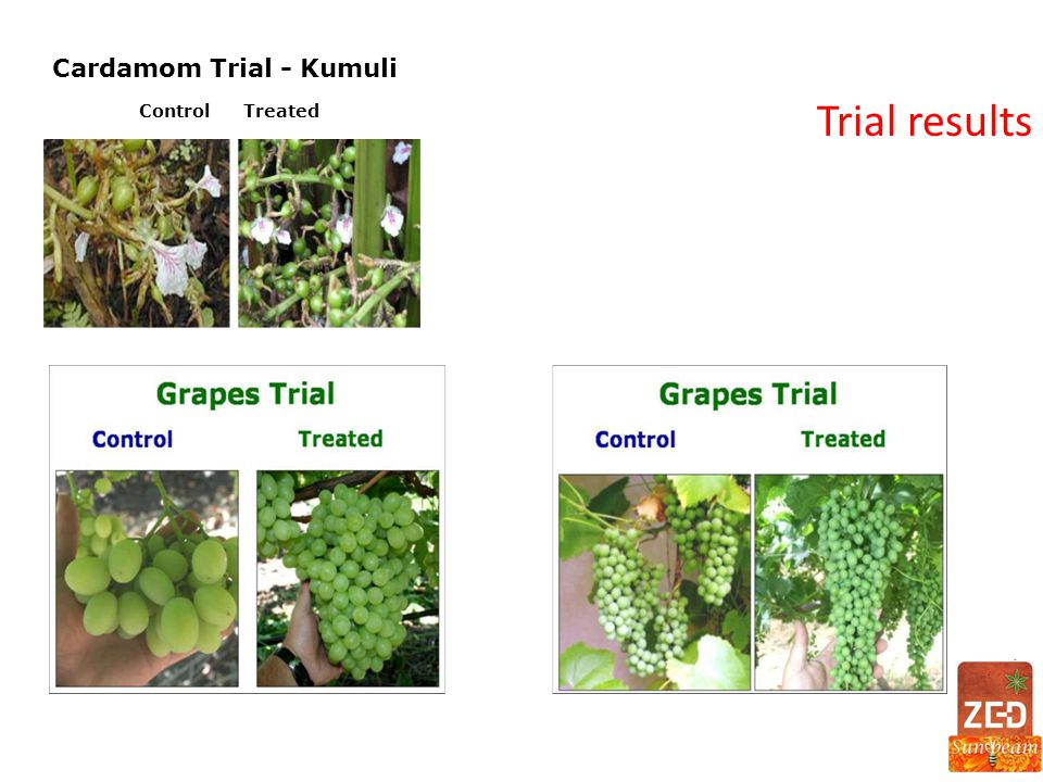 Cardamom Trial - Kumuli