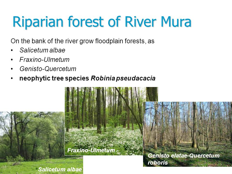 Riparian forest of River Mura