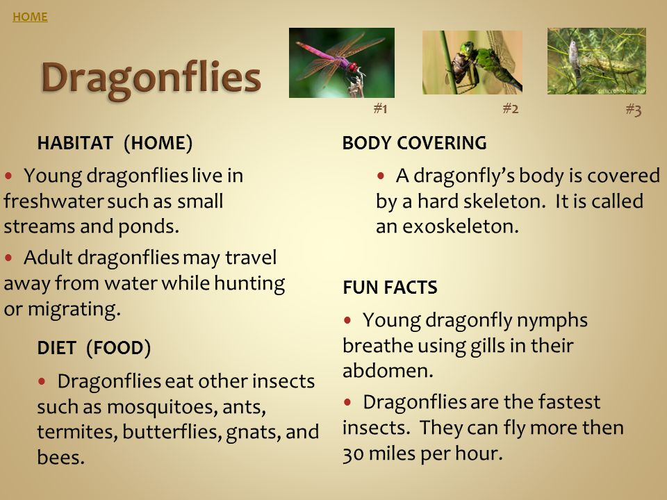 HOME Dragonflies. #1. #2. #3. Habitat (home) Body covering. Young dragonflies live in freshwater such as small streams and ponds.